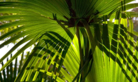 Beneficiile Saw Palmetto